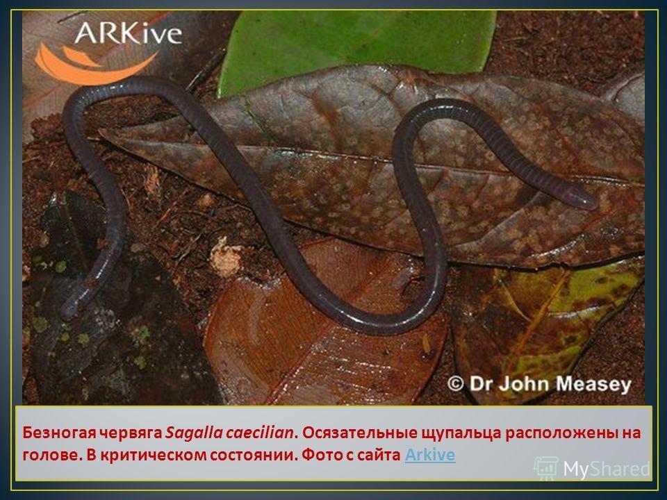 Безногая червяга Sagalla caecilian. Осязательные щупальца расположены на голове. В критическом состоянии. Фото с сайта Arkive