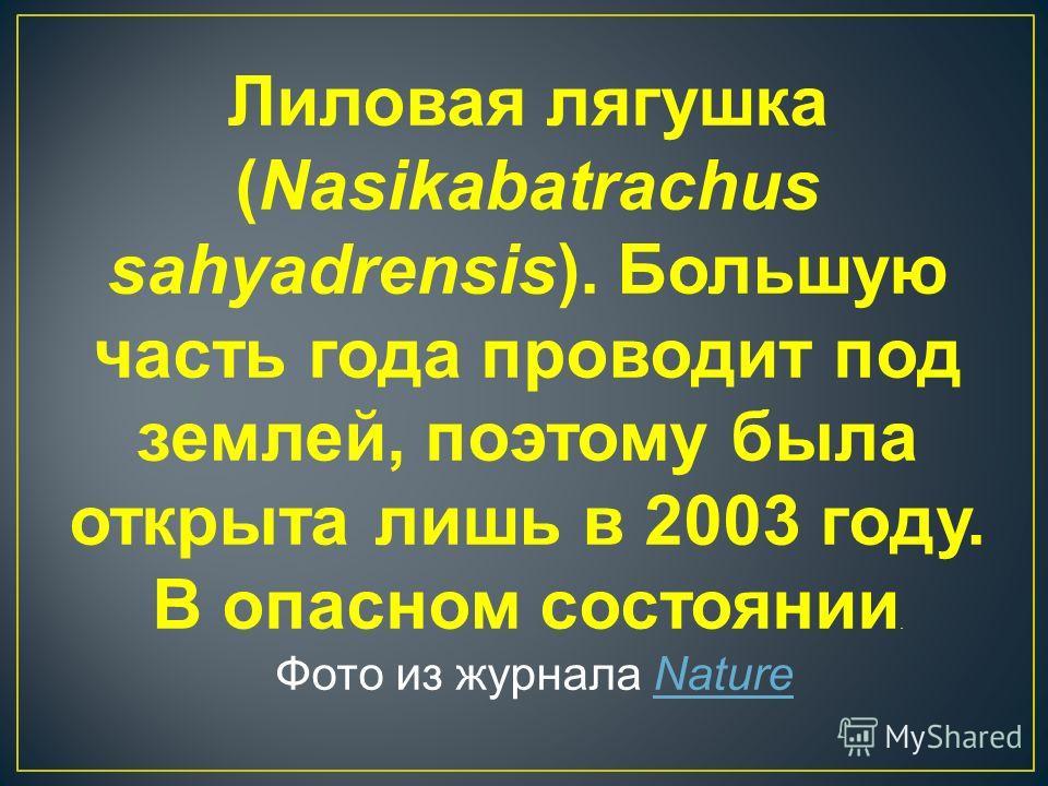 Лиловая лягушка (Nasikabatrachus sahyadrensis). Большую часть года проводит под землей, поэтому была открыта лишь в 2003 году. В опасном состоянии. Фото из журнала Nature