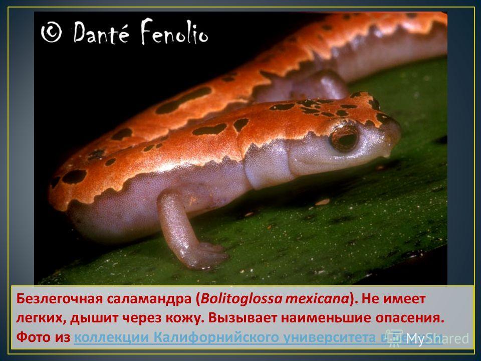 Безлегочная саламандра (Bolitoglossa mexicana). Не имеет легких, дышит через кожу. Вызывает наименьшие опасения. Фото из коллекции Калифорнийского университета в Беркли