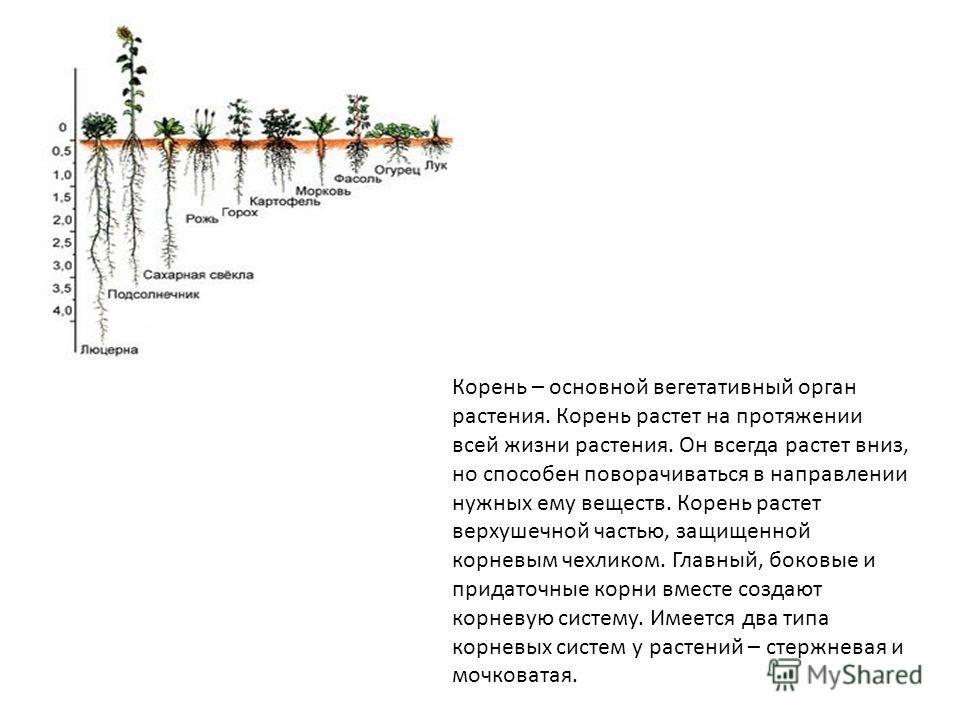 Корень – основной вегетативный орган растения. Корень растет на протяжении всей жизни растения. Он всегда растет вниз, но способен поворачиваться в направлении нужных ему веществ. Корень растет верхушечной частью, защищенной корневым чехликом. Главны