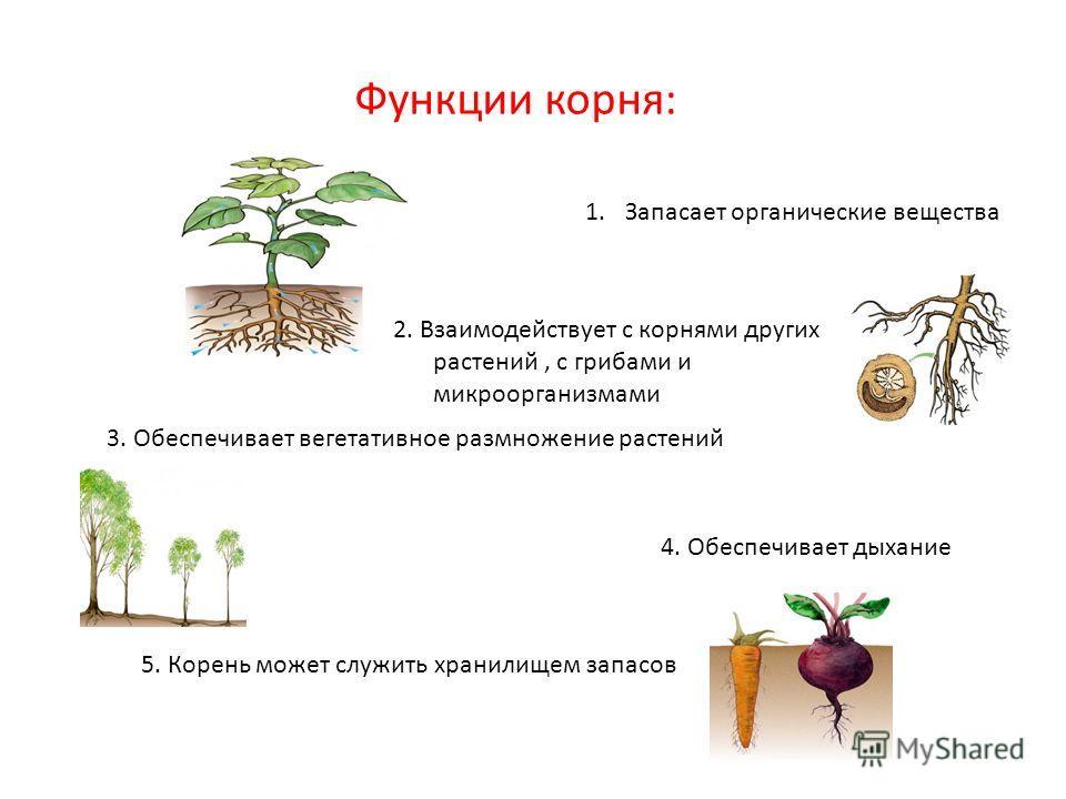 Функции корня: 1.Запасает органические вещества 2. Взаимодействует с корнями других растений, с грибами и микроорганизмами 3. Обеспечивает вегетативное размножение растений 4. Обеспечивает дыхание 5. Корень может служить хранилищем запасов