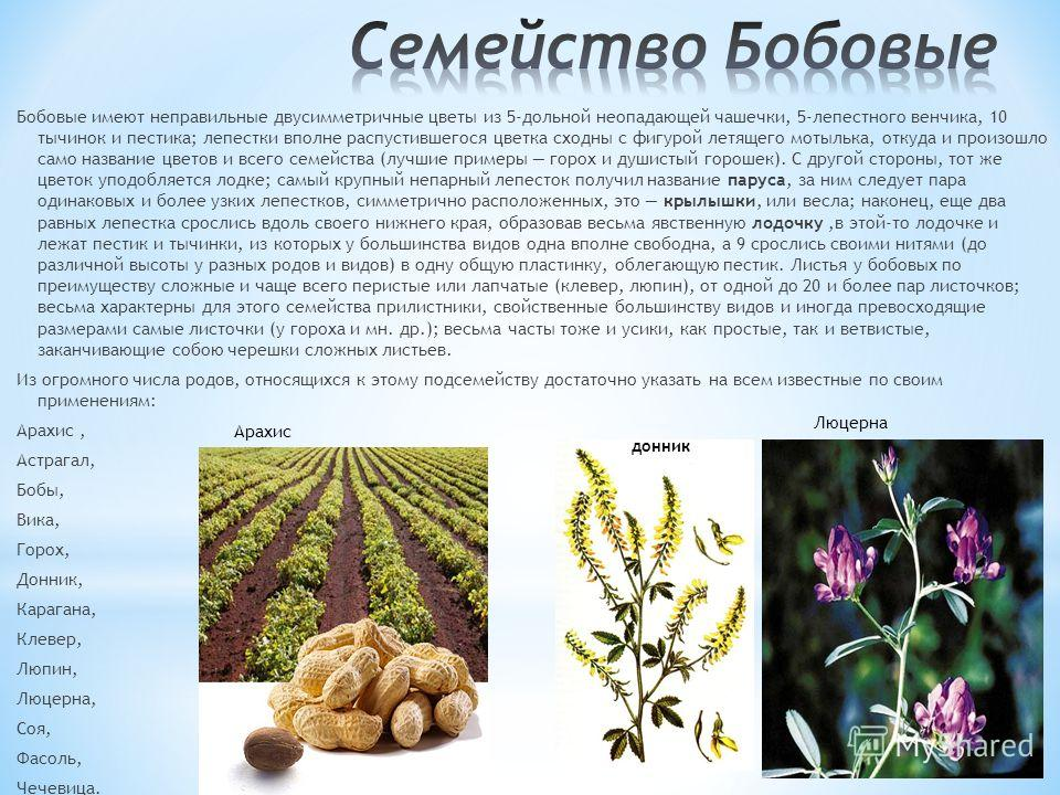 Бобовые имеют неправильные двусимметричные цветы из 5-дольной неопадающей чашечки, 5-лепестного венчика, 10 тычинок и пестика; лепестки вполне распустившегося цветка сходны с фигурой летящего мотылька, откуда и произошло само название цветов и всего