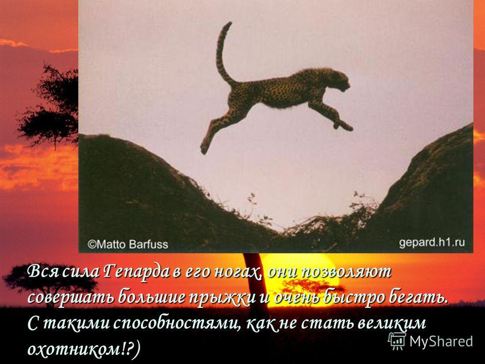 Вся сила Гепарда в его ногах, они позволяют совершать большие прыжки и очень быстро бегать. С такими способностями, как не стать великим охотником!?)