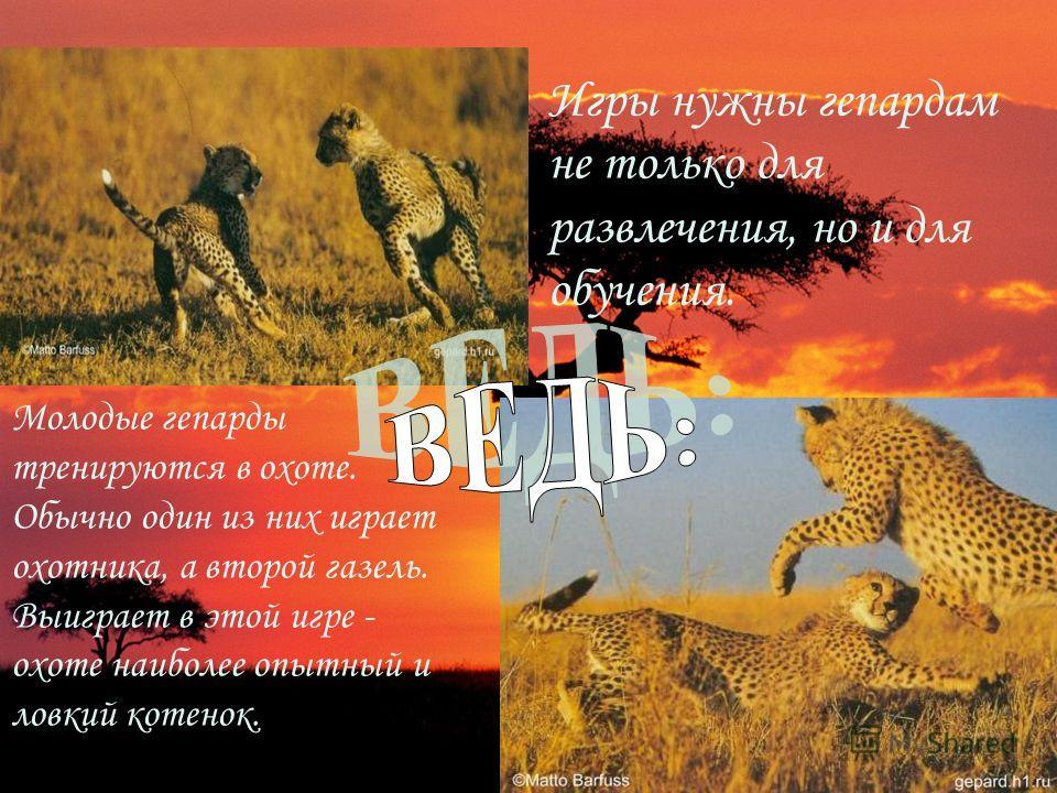 Игры нужны гепардам не только для развлечения, но и для обучения. Молодые гепарды тренируются в охоте. Обычно один из них играет охотника, а второй газель. Выиграет в этой игре - охоте наиболее опытный и ловкий котенок.