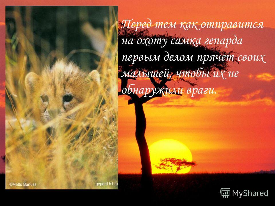Перед тем как отправится на охоту самка гепарда первым делом прячет своих малышей, чтобы их не обнаружили враги.