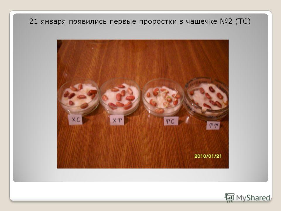 21 января появились первые проростки в чашечке 2 (ТС)