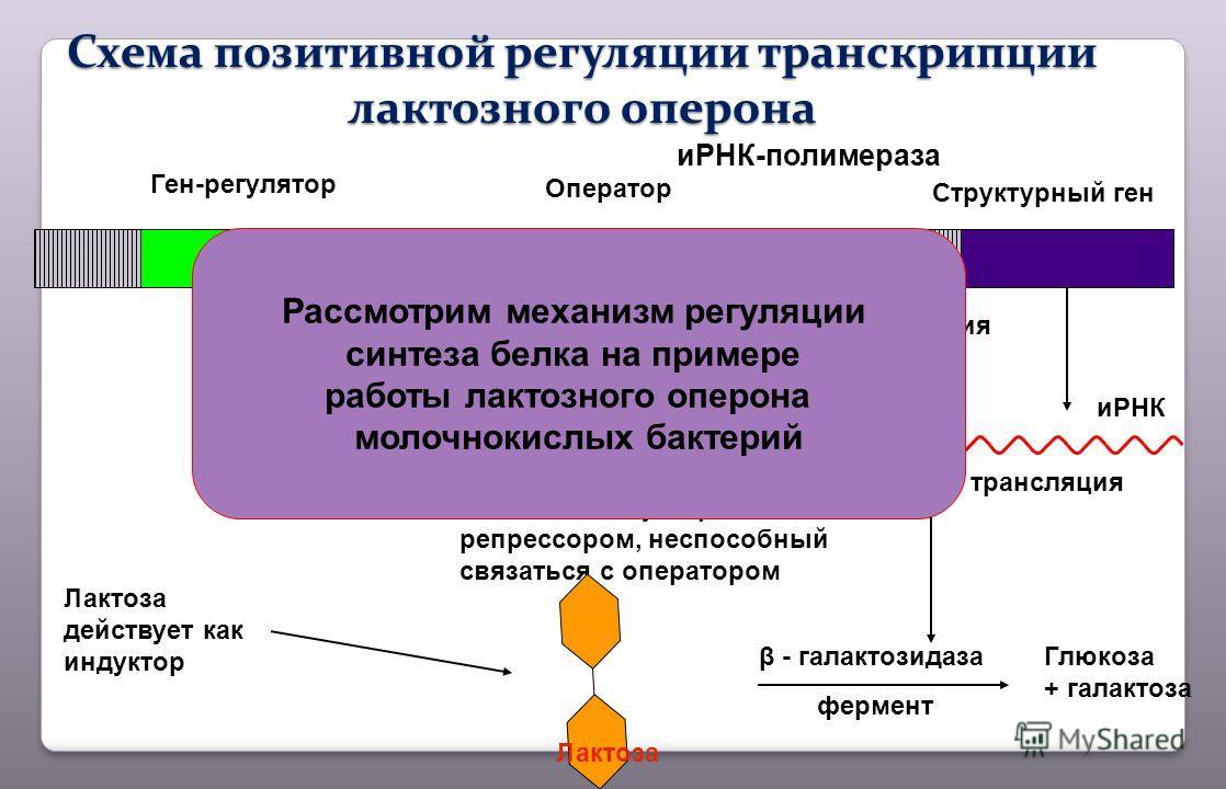 Ген-регулятор иРНК-полимераза Оператор Структурный ген транскрипция иРНК трансляция Лактоза действует как индуктор Комплекс индуктора с репрессором, неспособный связаться с оператором Глюкоза + галактоза β - галактозидаза фермент Схема позитивнойрегу