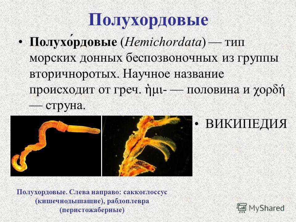 Полухордовые Полухо́рдовые (Hemichordata) тип морских донных беспозвоночных из группы вторичноротых. Научное название происходит от греч. μι- половина и χορδή струна. ВИКИПЕДИЯ Полухордовые. Слева направо: саккоглоссус (кишечнодышащие), рабдоплевра (