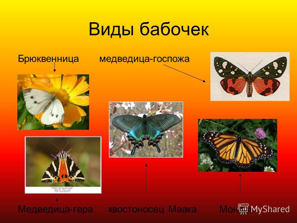 Виды бабочек Брюквенница медведица-госпожа Медведица-гера хвостоносец Маака Монарх
