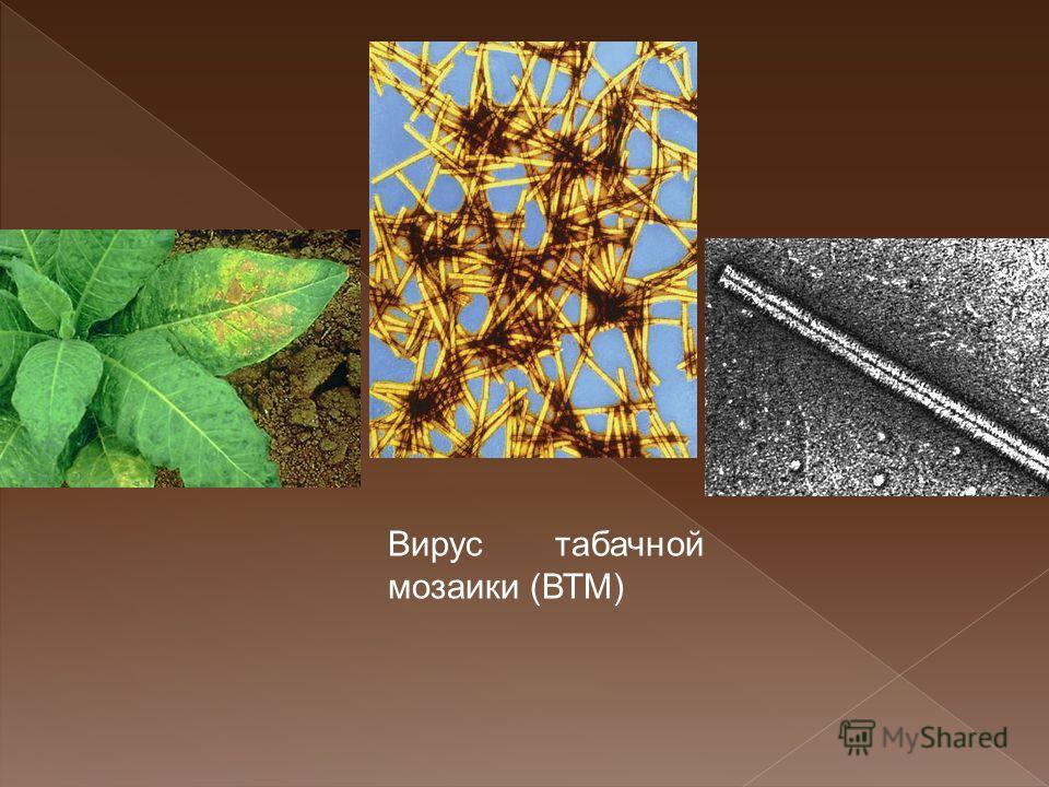 Вирус табачной мозаики (ВТМ)