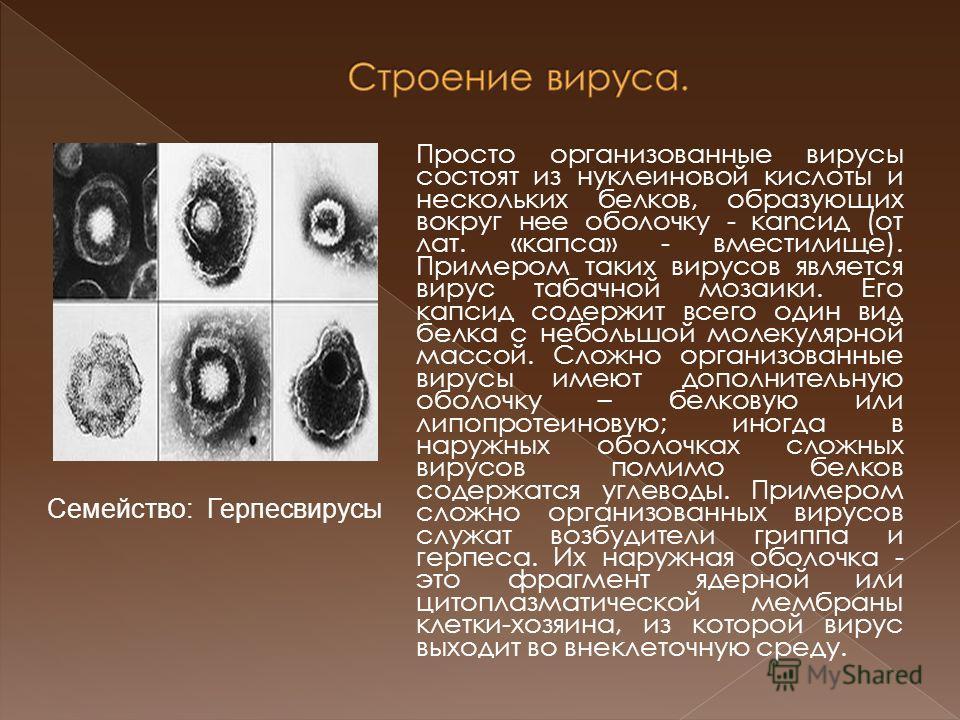Просто организованные вирусы состоят из нуклеиновой кислоты и нескольких белков, образующих вокруг нее оболочку - каnсид (от лат. «капса» - вместилище). Примером таких вирусов является вирус табачной мозаики. Его капсид содержит всего один вид белка