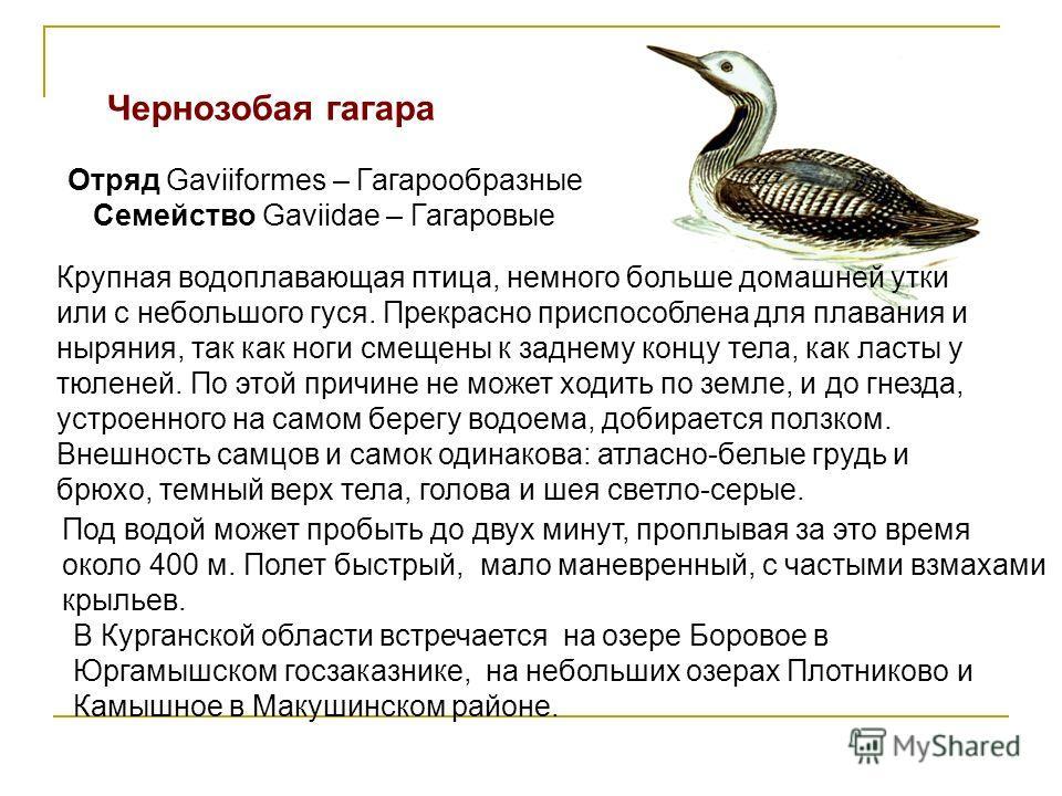 Чернозобая гагара Отряд Gaviiformes – Гагарообразные Семейство Gaviidae – Гагаровые Крупная водоплавающая птица, немного больше домашней утки или с небольшого гуся. Прекрасно приспособлена для плавания и ныряния, так как ноги смещены к заднему концу