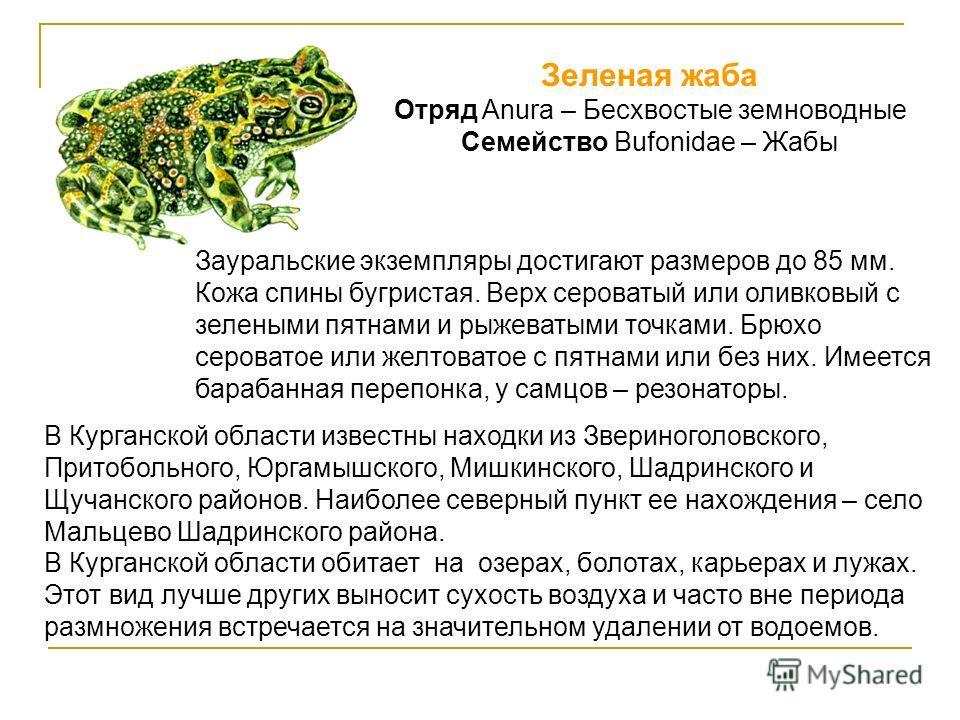 Зеленая жаба Отряд Anura – Бесхвостые земноводные Семейство Bufonidae – Жабы Зауральские экземпляры достигают размеров до 85 мм. Кожа спины бугристая. Верх сероватый или оливковый с зелеными пятнами и рыжеватыми точками. Брюхо сероватое или желтовато