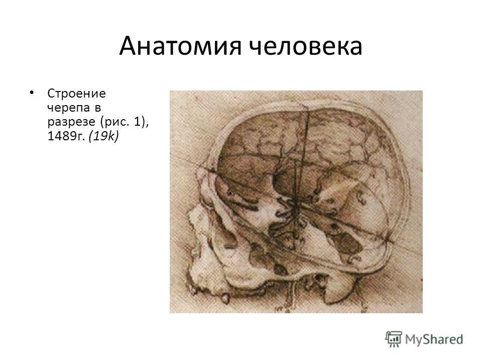 Анатомия человека Строение черепа в разрезе (рис. 1), 1489г. (19k)