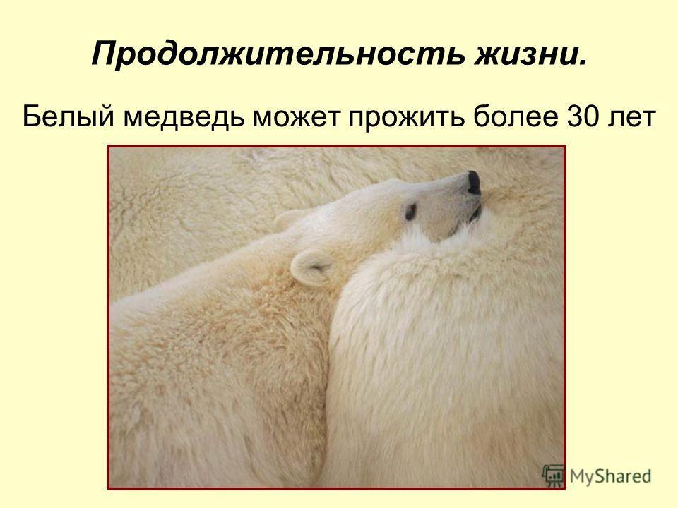 Продолжительность жизни. Белый медведь может прожить более 30 лет