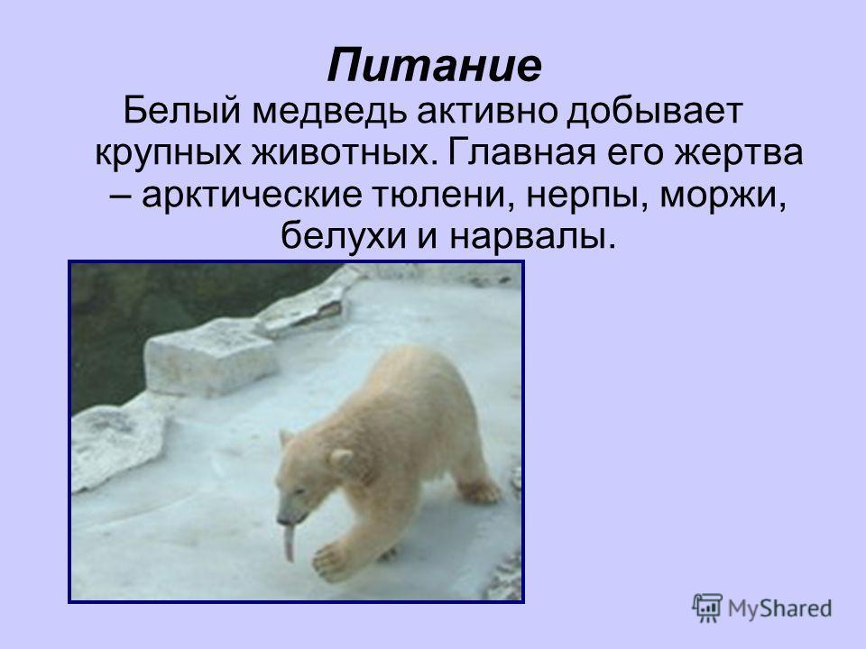 Питание Белый медведь активно добывает крупных животных. Главная его жертва – арктические тюлени, нерпы, моржи, белухи и нарвалы.