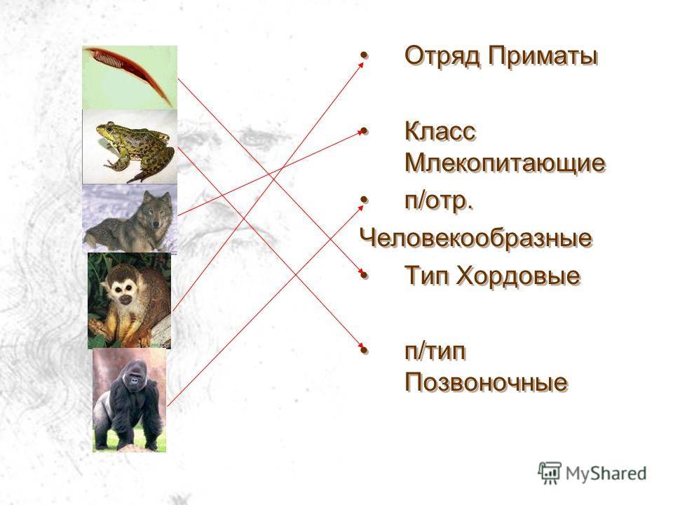 Отряд Приматы Класс Млекопитающие п/отр. Человекообразные Тип Хордовые п/тип Позвоночные