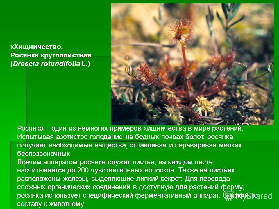 Росянка – один из немногих примеров хищничества в мире растений. Испытывая азотистое голодание на бедных почвах болот, росянка получает необходимые вещества, отлавливая и переваривая мелких беспозвоночных. Ловчим аппаратом росянке служат листья; на к