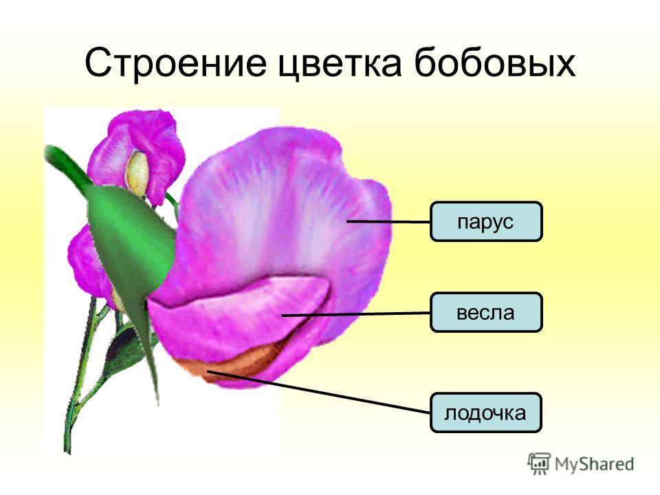 Строение цветка бобовых лодочка веслапарус
