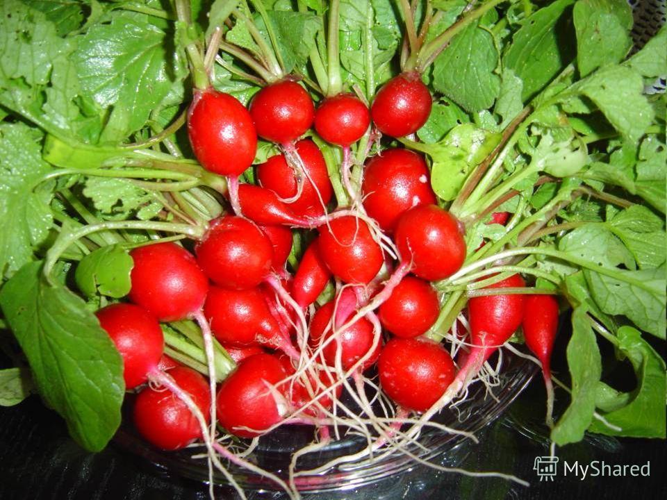Однолетние или двулетние растения семейства Капустные. Съедобны, их выращивают как овощ во многих странах мира. Его название происходит от латинского корень. В пищу обычно употребляют корнеплоды, которые имеют толщину до 3 см и покрыты тонкой кожей,
