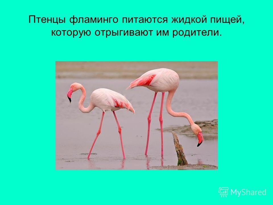 Птенцы фламинго питаются жидкой пищей, которую отрыгивают им родители.