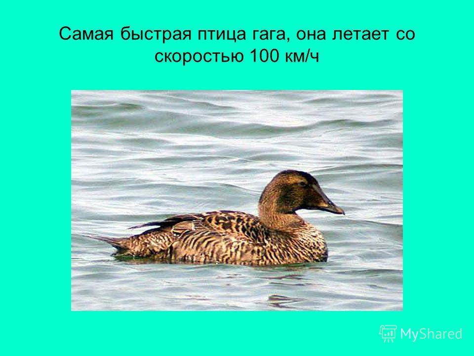 Самая быстрая птица гага, она летает со скоростью 100 км/ч