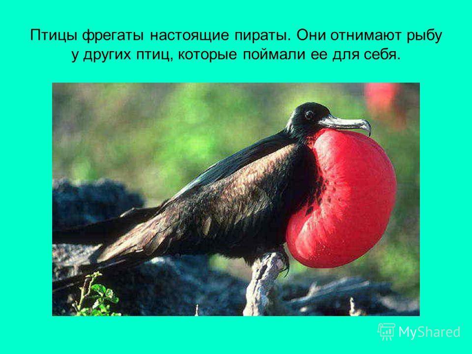 Птицы фрегаты настоящие пираты. Они отнимают рыбу у других птиц, которые поймали ее для себя.