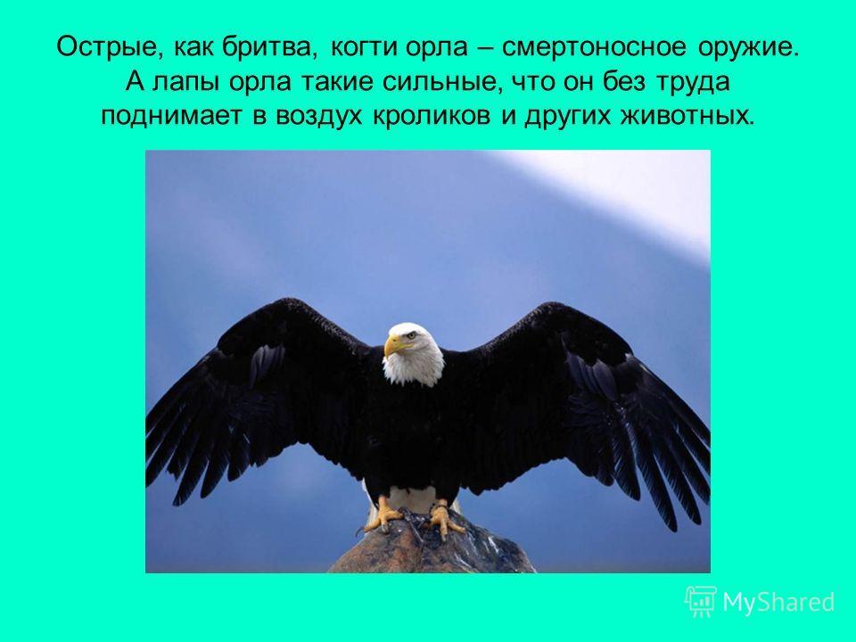 Острые, как бритва, когти орла – смертоносное оружие. А лапы орла такие сильные, что он без труда поднимает в воздух кроликов и других животных.