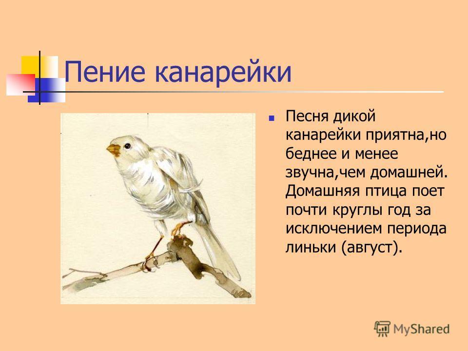 Пение канарейки Песня дикой канарейки приятна,но беднее и менее звучна,чем домашней. Домашняя птица поет почти круглы год за исключением периода линьки (август).