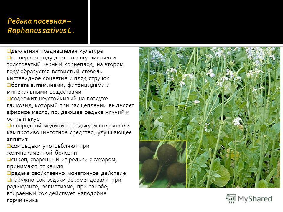 Редька посевная – Raphanus sativus L. двулетняя позднеспелая культура на первом году дает розетку листьев и толстоватый черный корнеплод; на втором году образуется ветвистый стебель, кистевидное соцветие и плод стручок богата витаминами, фитонцидами