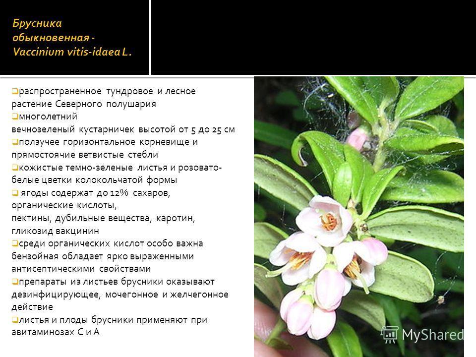 Брусника обыкновенная - Vaccinium vitis-idaea L. распространенное тундровое и лесное растение Северного полушария многолетний вечнозеленый кустарничек высотой от 5 до 25 см ползучее горизонтальное корневище и прямостоячие ветвистые стебли кожистые те
