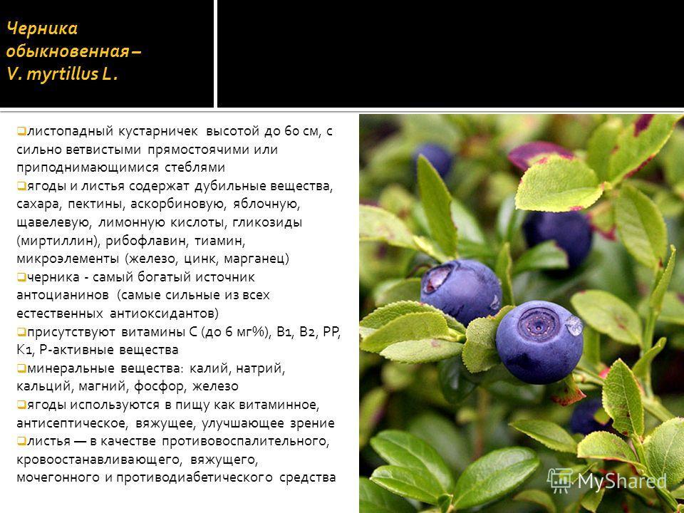 Черника обыкновенная – V. mуrtillus L. листопадный кустарничек высотой до 60 см, с сильно ветвистыми прямостоячими или приподнимающимися стеблями ягоды и листья содержат дубильные вещества, сахара, пектины, аскорбиновую, яблочную, щавелевую, лимонную