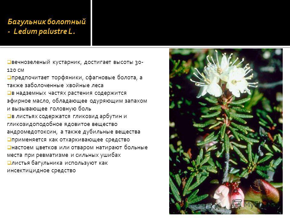 Багульник болотный - Ledum palustre L. вечнозеленый кустарник, достигает высоты 30- 120 см предпочитает торфяники, сфагновые болота, а также заболоченные хвойные леса в надземных частях растения содержится эфирное масло, обладающее одуряющим запахом
