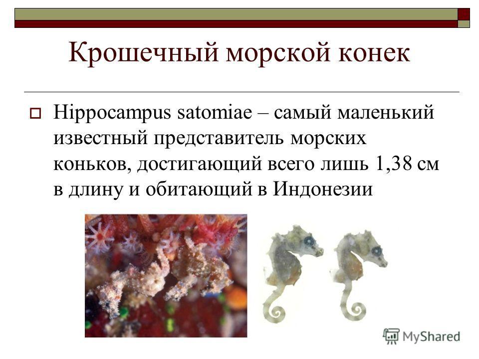 Крошечный морской конек Hippocampus satomiae – самый маленький известный представитель морских коньков, достигающий всего лишь 1,38 см в длину и обитающий в Индонезии