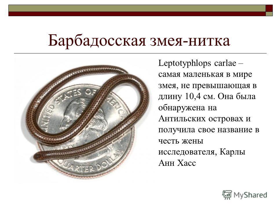 Барбадосская змея-нитка Leptotyphlops carlae – самая маленькая в мире змея, не превышающая в длину 10,4 см. Она была обнаружена на Антильских островах и получила свое название в честь жены исследователя, Карлы Анн Хасс