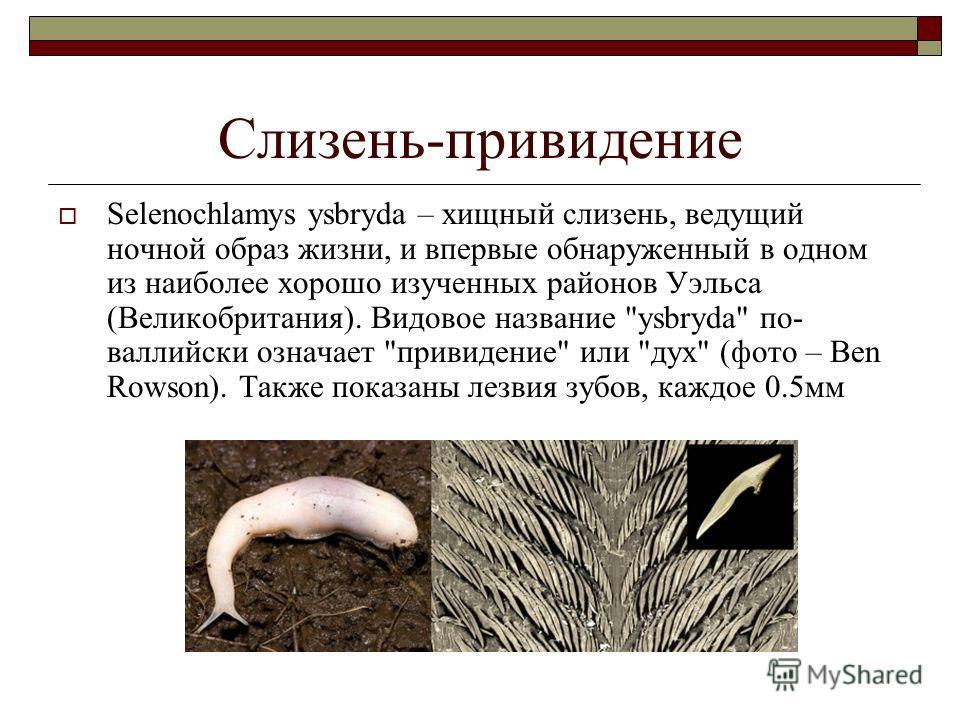 Слизень-привидение Selenochlamys ysbryda – хищный слизень, ведущий ночной образ жизни, и впервые обнаруженный в одном из наиболее хорошо изученных районов Уэльса (Великобритания). Видовое название