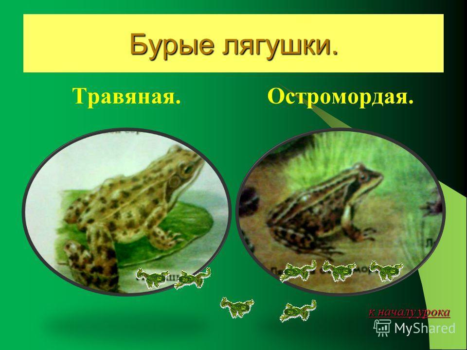 к началу урока к началу урока озёрная лягушка. Озёрная крупнее- до 15 см. Свою жизнь они проводят в воде или возле неё. Зелёная окраска помогает им оставаться незамеченными.