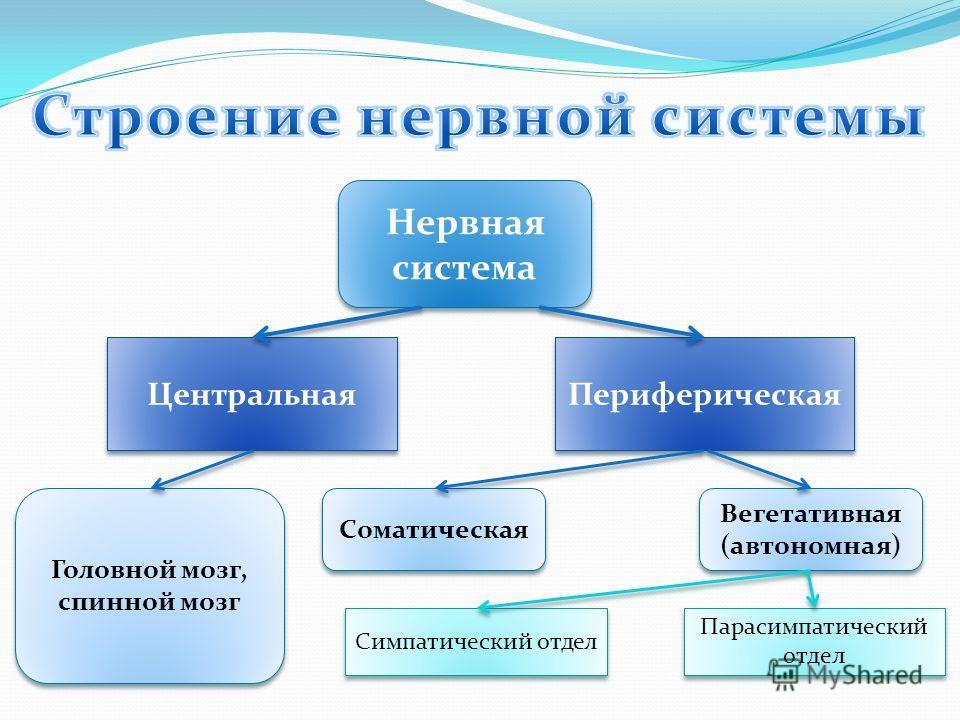 Нервная система Центральная Периферическая Головной мозг, спинной мозг Соматическая Вегетативная (автономная) Вегетативная (автономная) Симпатический отдел Парасимпатический отдел