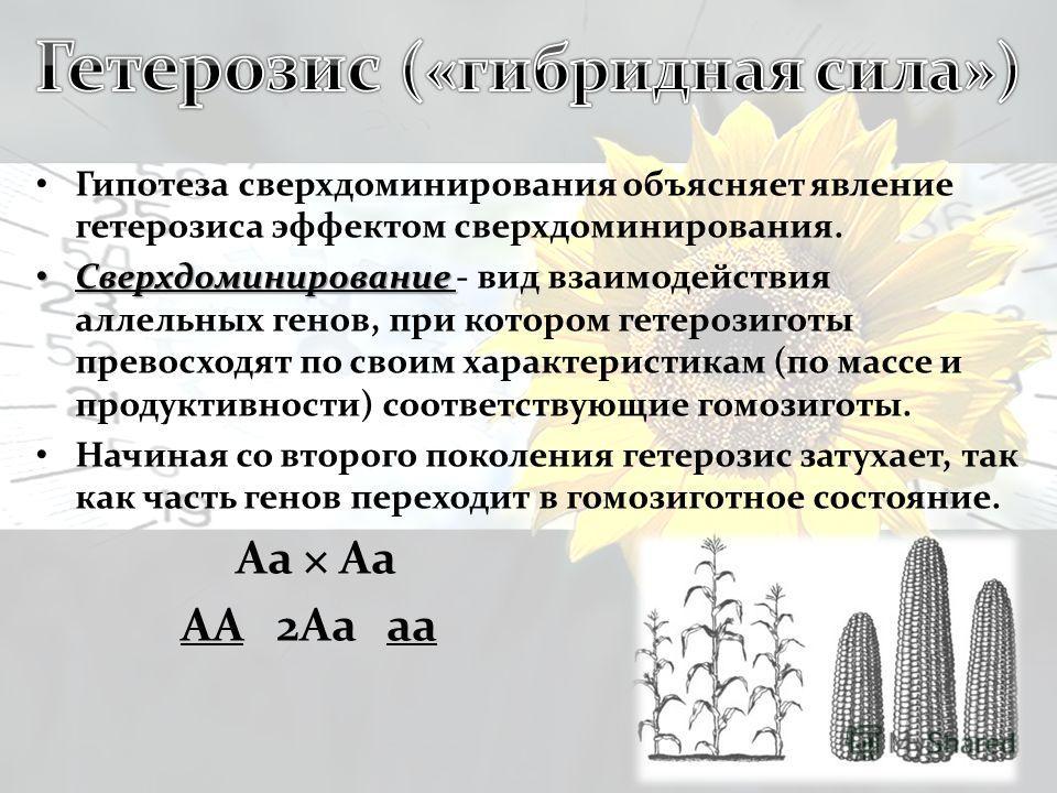 Гипотеза сверхдоминирования объясняет явление гетерозиса эффектом сверхдоминирования. Сверхдоминирование Сверхдоминирование - вид взаимодействия аллельных генов, при котором гетерозиготы превосходят по своим характеристикам (по массе и продуктивности
