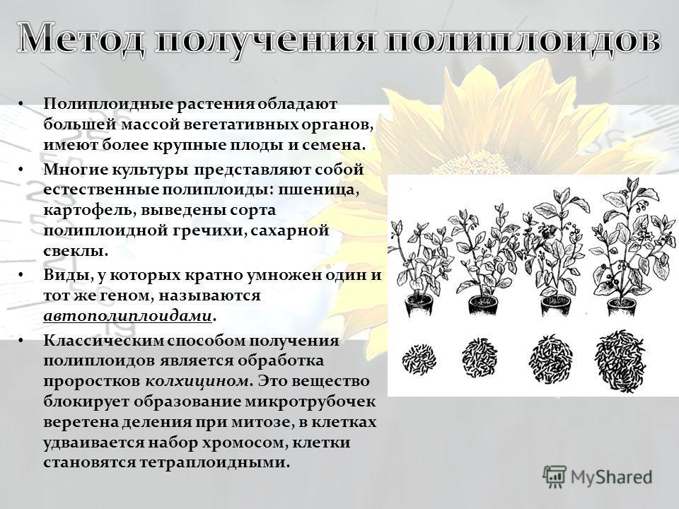 Полиплоидные растения обладают большей массой вегетативных органов, имеют более крупные плоды и семена. Многие культуры представляют собой естественные полиплоиды: пшеница, картофель, выведены сорта полиплоидной гречихи, сахарной свеклы. Виды, у кото