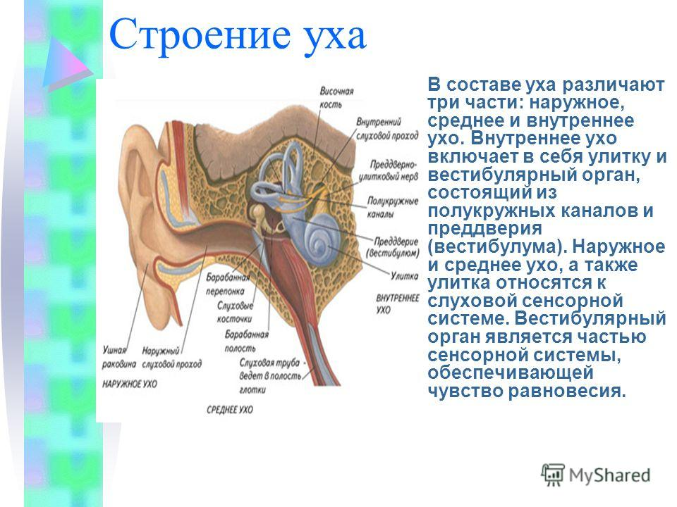 Строение уха В составе уха различают три части: наружное, среднее и внутреннее ухо. Внутреннее ухо включает в себя улитку и вестибулярный орган, состоящий из полукружных каналов и преддверия (вестибулума). Наружное и среднее ухо, а также улитка относ