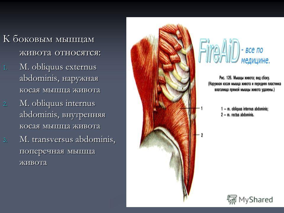 К боковым мышцам живота относятся: 1. М. obliquus externus abdominis, наружная косая мышца живота 2. M. obliquus internus abdominis, внутренняя косая мышца живота 3. M. transversus abdominis, поперечная мышца живота