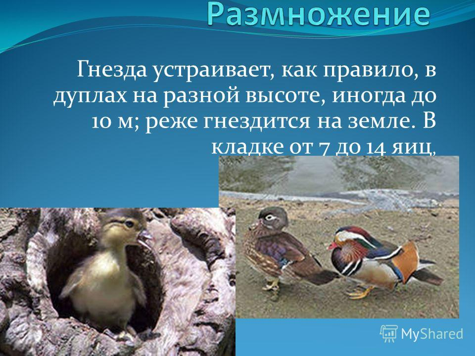 Гнезда устраивает, как правило, в дуплах на разной высоте, иногда до 10 м; реже гнездится на земле. В кладке от 7 до 14 яиц,