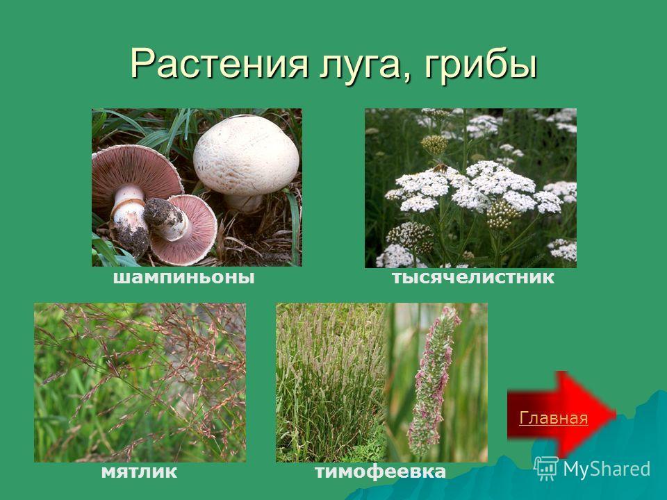 Растения луга, грибы Главная шампиньонытысячелистник мятликтимофеевка