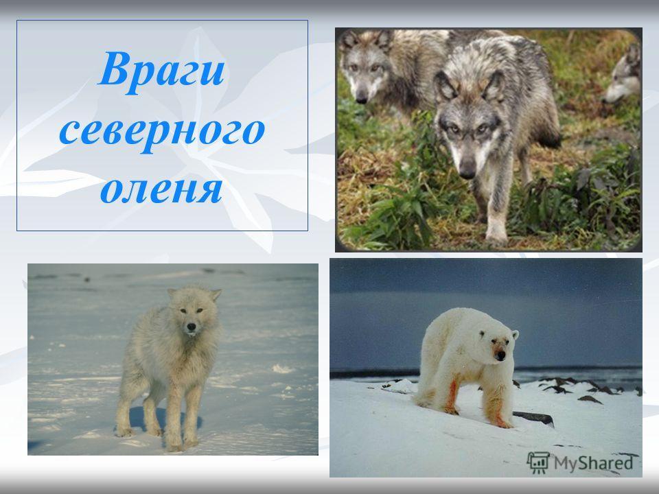 Сезонные изменения в жизни северного оленя Осенью из тундры мигрируют в лесотундру и тайгу. Лето они проводят на арктическом побережье, где прохладнее и меньше гнуса. Гон в сентябре- октябре. После отела самки сбрасывают рога, а самцы начинают вновь