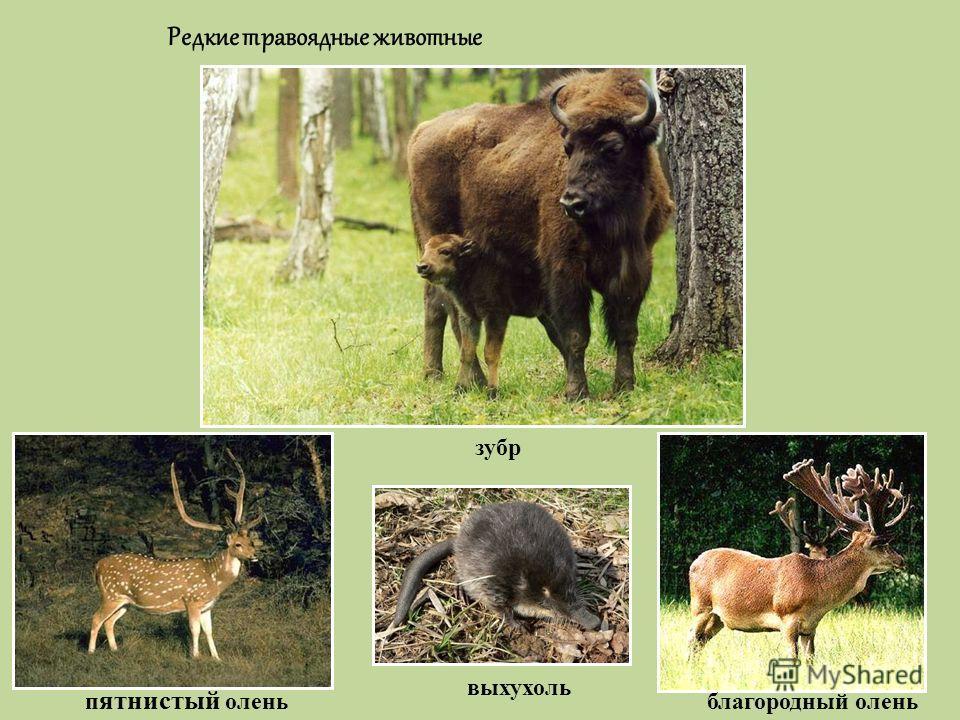 Редкие травоядные животные зубр п ятнистый олень выхухоль благородный олень