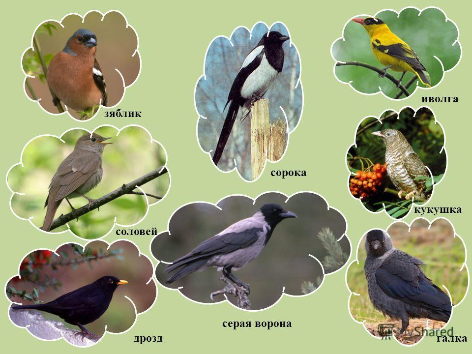 зяблик сорока иволга соловей дрозд серая ворона галка кукушка