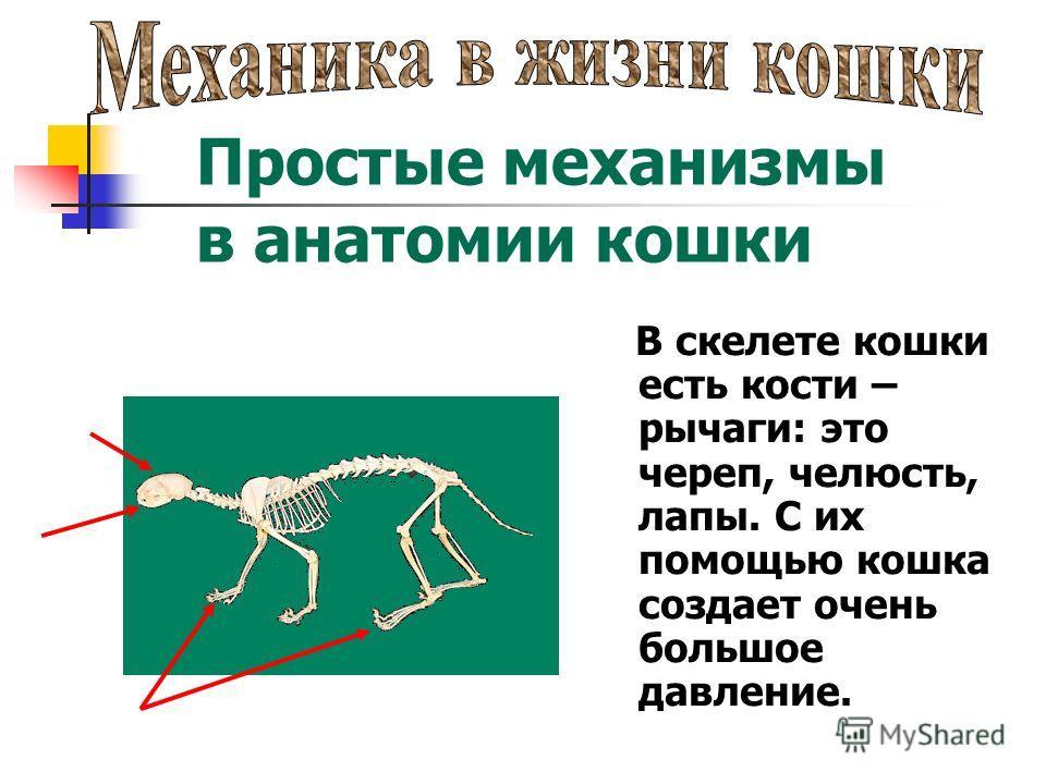 В скелете кошки есть кости – рычаги: это череп, челюсть, лапы. С их помощью кошка создает очень большое давление. Простые механизмы в анатомии кошки