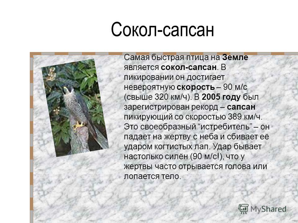 Сокол-сапсан Самая быстрая птица на Земле является сокол-сапсан. В пикировании он достигает невероятную скорость – 90 м/с (свыше 320 км/ч). В 2005 году был зарегистрирован рекорд – сапсан пикирующий со скоростью 389 км/ч. Это своеобразный истребитель