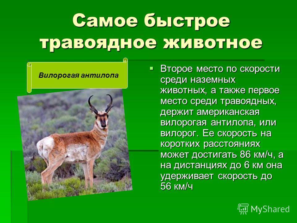 Самое быстрое травоядное животное Второе место по скорости среди наземных животных, а также первое место среди травоядных, держит американская вилорогая антилопа, или вилорог. Ее скорость на коротких расстояниях может достигать 86 км/ч, а на дистанци